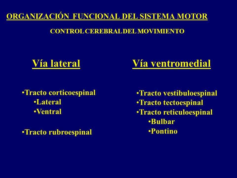 ORGANIZACIÓN FUNCIONAL DEL SISTEMA MOTOR CONTROL CEREBRAL DEL MOVIMIENTO Vía lateralVía ventromedial Tracto corticoespinal Lateral Ventral Tracto rubroespinal Tracto vestibuloespinal Tracto tectoespinal Tracto reticuloespinal Bulbar Pontino
