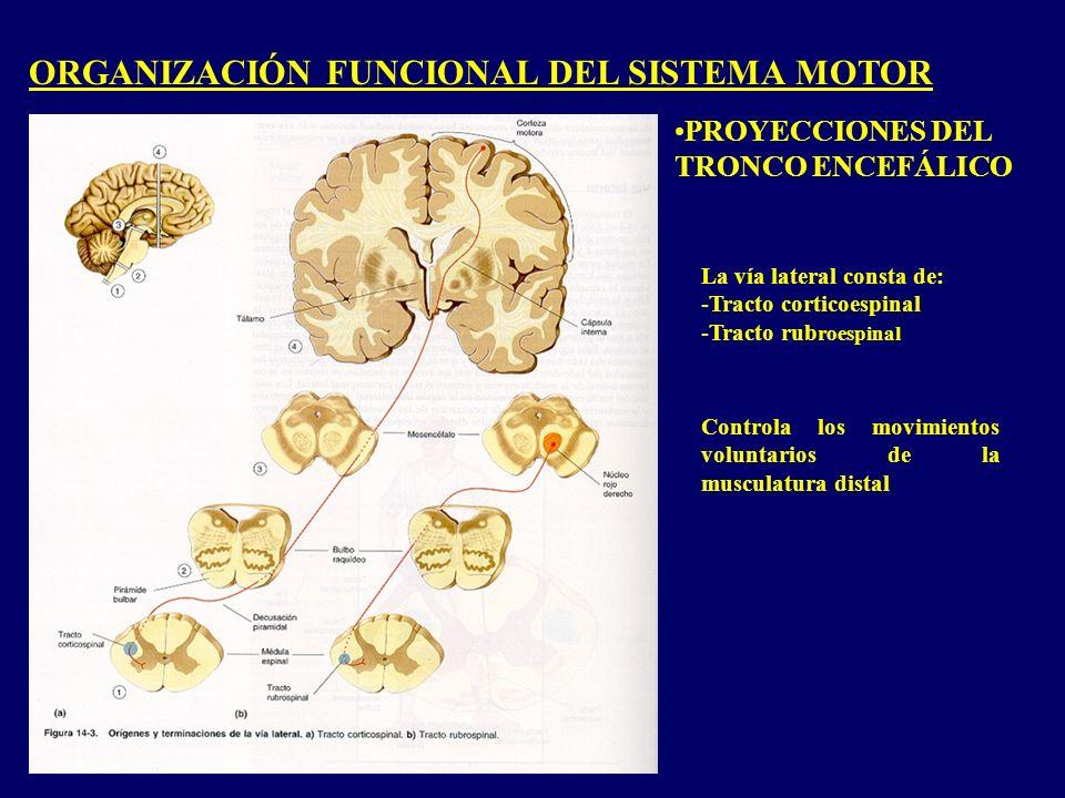 ORGANIZACIÓN FUNCIONAL DEL SISTEMA MOTOR PROYECCIONES DEL TRONCO ENCEFÁLICO La vía lateral consta de: -Tracto corticoespinal -Tracto rub roespinal Controla los movimientos voluntarios de la musculatura distal