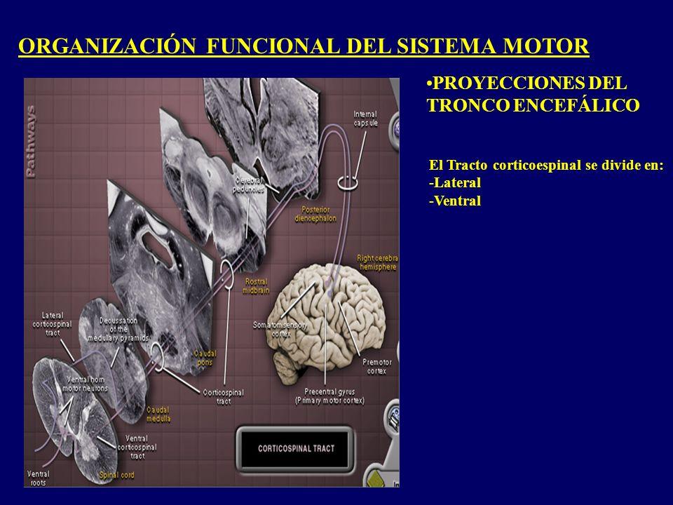 ORGANIZACIÓN FUNCIONAL DEL SISTEMA MOTOR PROYECCIONES DEL TRONCO ENCEFÁLICO El Tracto corticoespinal se divide en: -Lateral -Ventral