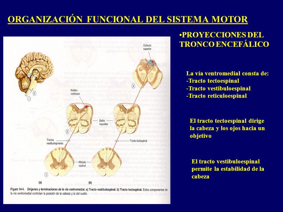ORGANIZACIÓN FUNCIONAL DEL SISTEMA MOTOR PROYECCIONES DEL TRONCO ENCEFÁLICO La vía ventromedial consta de: -Tracto tectoespinal -Tracto vestibuloespinal -Tracto reticuloespinal El tracto tectoespinal dirige la cabeza y los ojos hacia un objetivo El tracto vestibuloespinal permite la estabilidad de la cabeza