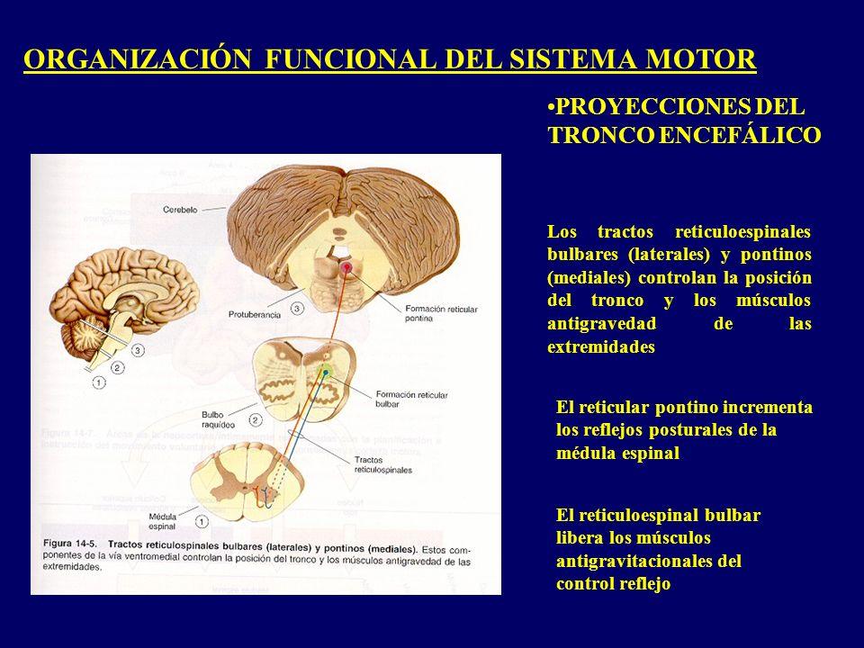ORGANIZACIÓN FUNCIONAL DEL SISTEMA MOTOR PROYECCIONES DEL TRONCO ENCEFÁLICO Los tractos reticuloespinales bulbares (laterales) y pontinos (mediales) controlan la posición del tronco y los músculos antigravedad de las extremidades El reticular pontino incrementa los reflejos posturales de la médula espinal El reticuloespinal bulbar libera los músculos antigravitacionales del control reflejo