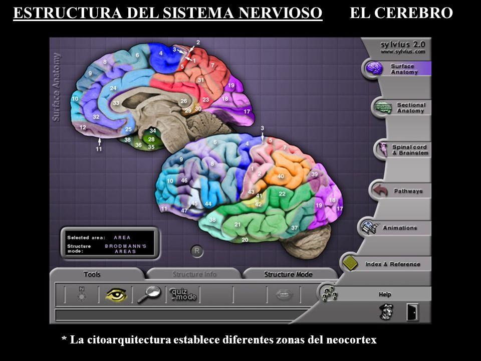 ESTRUCTURA DEL SISTEMA NERVIOSOEL CEREBRO * La citoarquitectura establece diferentes zonas del neocortex