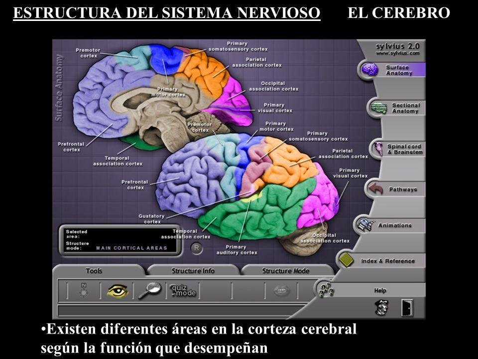 ESTRUCTURA DEL SISTEMA NERVIOSOEL CEREBRO Existen diferentes áreas en la corteza cerebral según la función que desempeñan