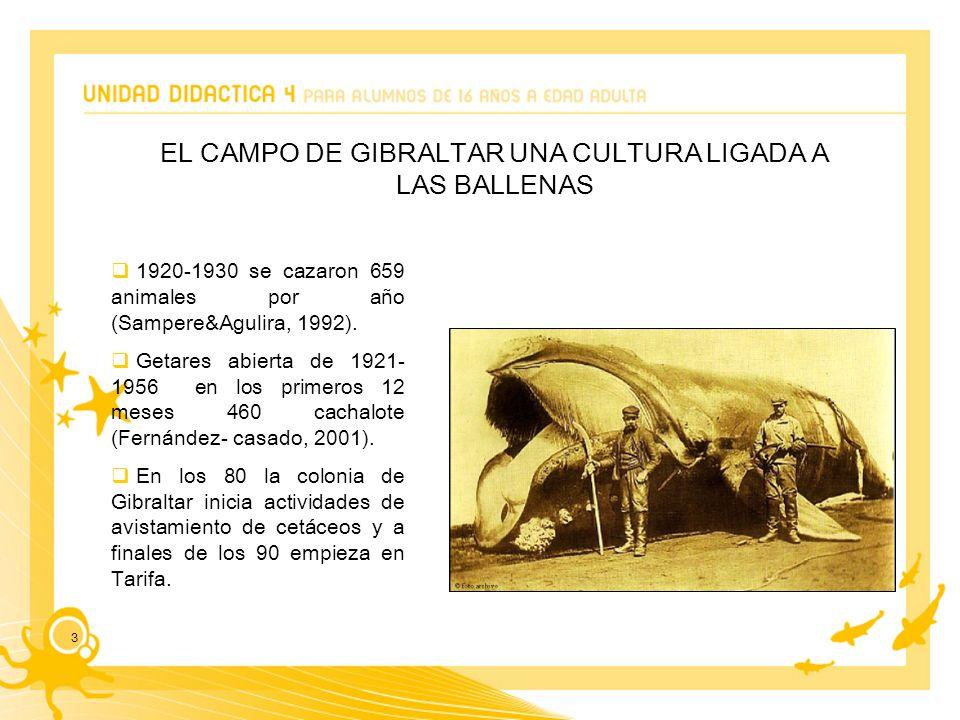 3 EL CAMPO DE GIBRALTAR UNA CULTURA LIGADA A LAS BALLENAS 1920-1930 se cazaron 659 animales por año (Sampere&Agulira, 1992).