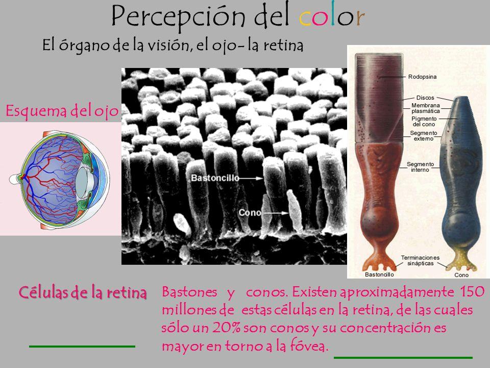 CÓRNEA IRIS PUPILA CÓRNEA RETINA NERVIO ÓPTICO HUMOR ACUOSO HUMOR VÍTREO CRISTALINO FÓVEA El ojo es el órgano de visión que nos permite transformar la