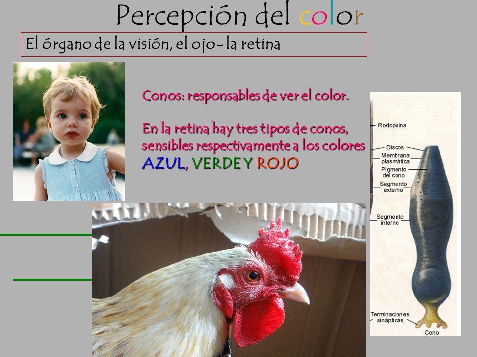 Percepción del color El órgano de la visión, el ojo- la retina Bastones: Responsables de ver en blanco y negro. No discriminan el factor cromático