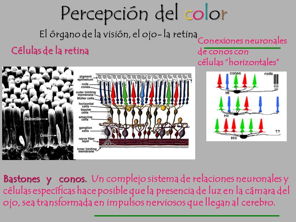 Percepción del color El órgano de la visión, el ojo- la retina Conos: responsables de ver el color. En la retina hay tres tipos de conos, sensibles re