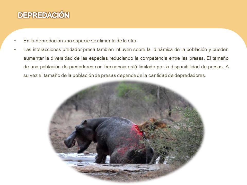 En la depredación una especie se alimenta de la otra. Las interacciones predador-presa también influyen sobre la dinámica de la población y pueden aum