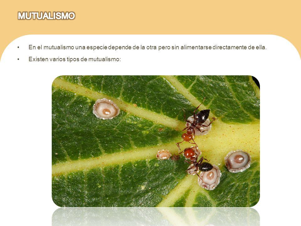 En el mutualismo una especie depende de la otra pero sin alimentarse directamente de ella. Existen varios tipos de mutualismo: