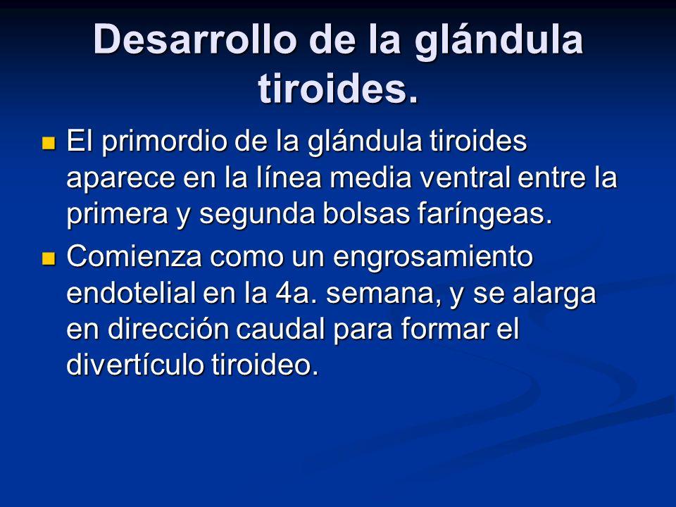 Desarrollo de la glándula tiroides. El primordio de la glándula tiroides aparece en la línea media ventral entre la primera y segunda bolsas faríngeas