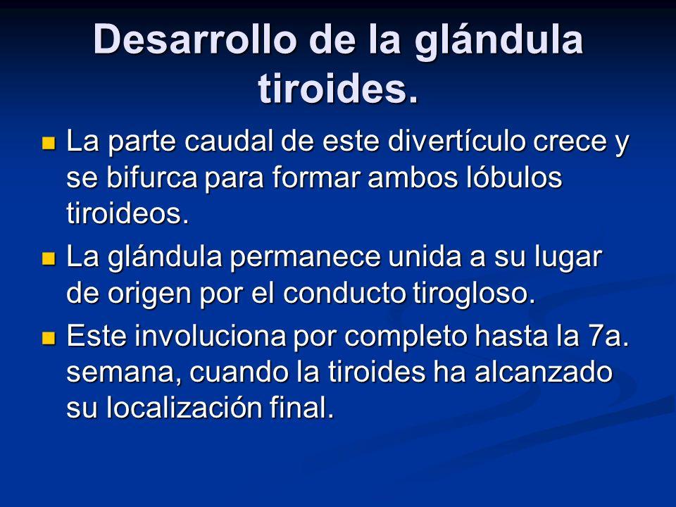 Desarrollo de la glándula tiroides. La parte caudal de este divertículo crece y se bifurca para formar ambos lóbulos tiroideos. La parte caudal de est