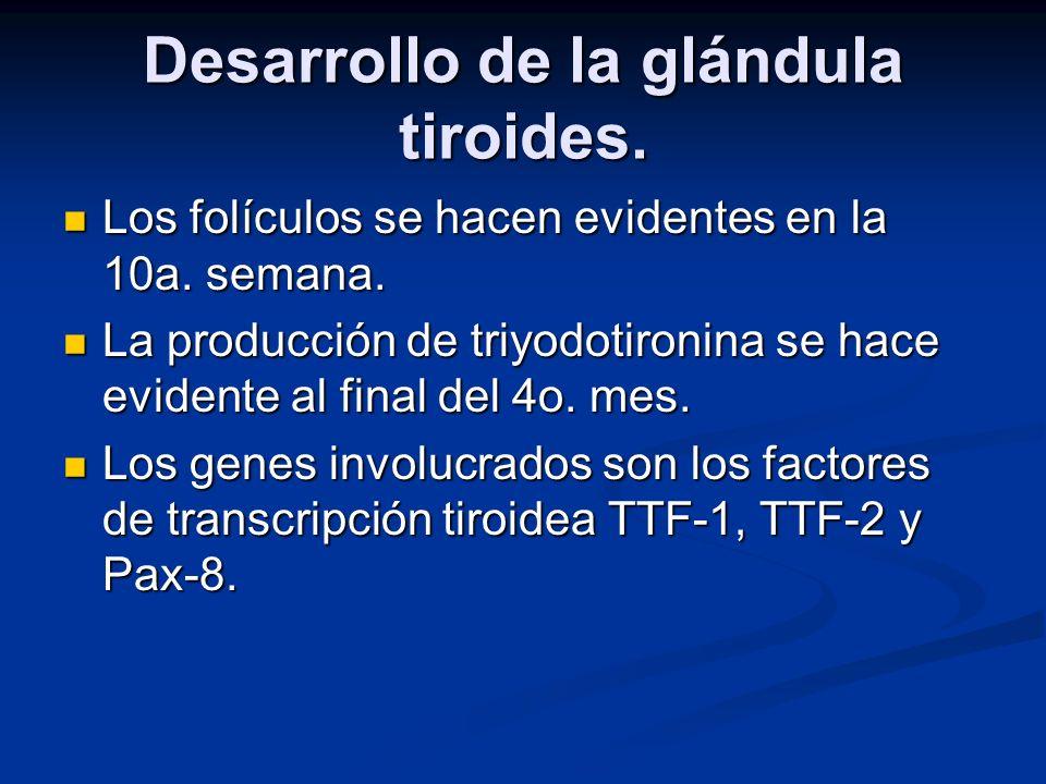 Desarrollo de la glándula tiroides. Los folículos se hacen evidentes en la 10a. semana. Los folículos se hacen evidentes en la 10a. semana. La producc