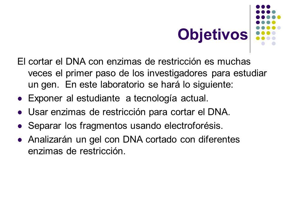 Objetivos El cortar el DNA con enzimas de restricción es muchas veces el primer paso de los investigadores para estudiar un gen.