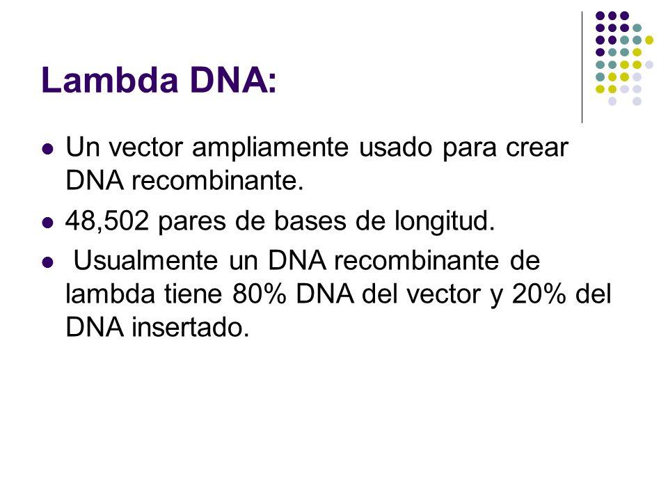 Lambda DNA: Un vector ampliamente usado para crear DNA recombinante.