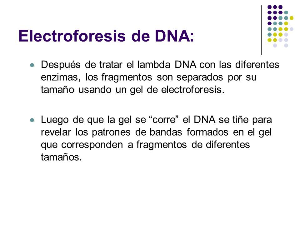 Electroforesis de DNA: Después de tratar el lambda DNA con las diferentes enzimas, los fragmentos son separados por su tamaño usando un gel de electroforesis.
