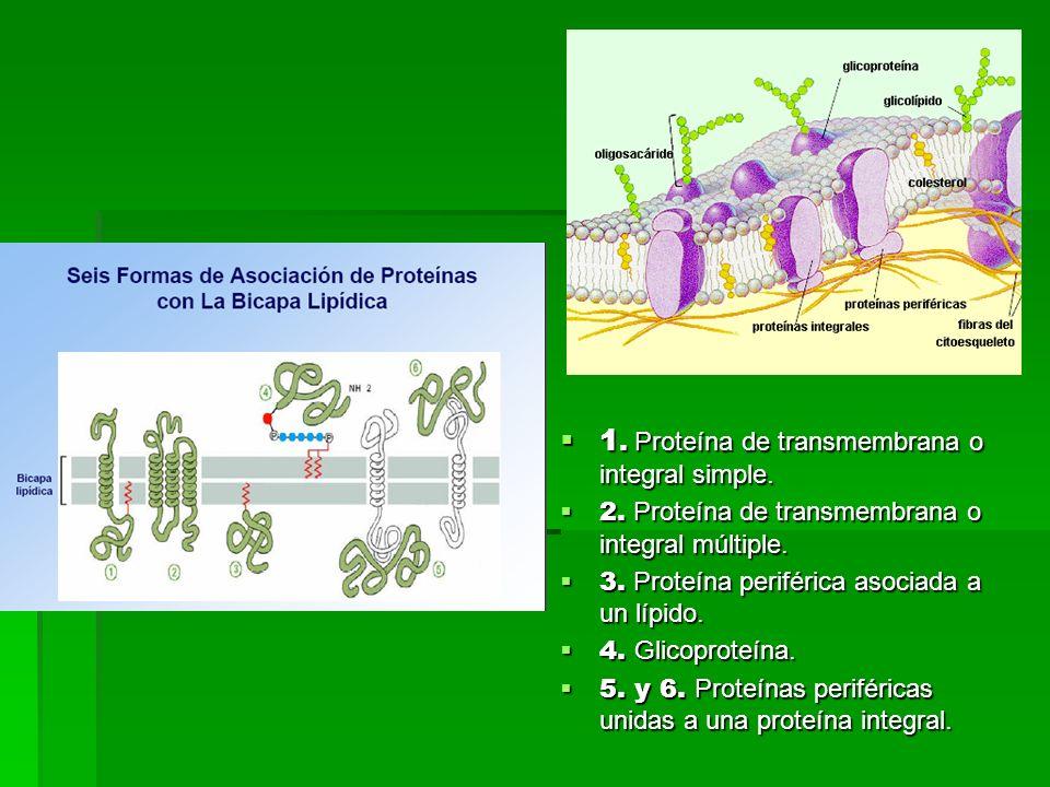 1.Proteína de transmembrana o integral simple. 1.