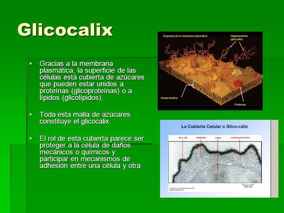 Glicocalix Gracias a la membrana plasmática, la superficie de las células está cubierta de azúcares que pueden estar unidos a proteínas (glicoproteínas) o a lípidos (glicolípidos).