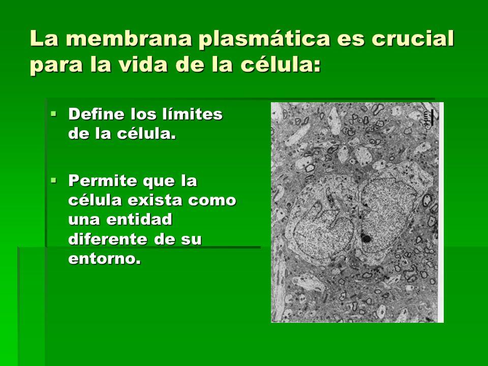 La membrana plasmática es crucial para la vida de la célula: Define los límites de la célula.