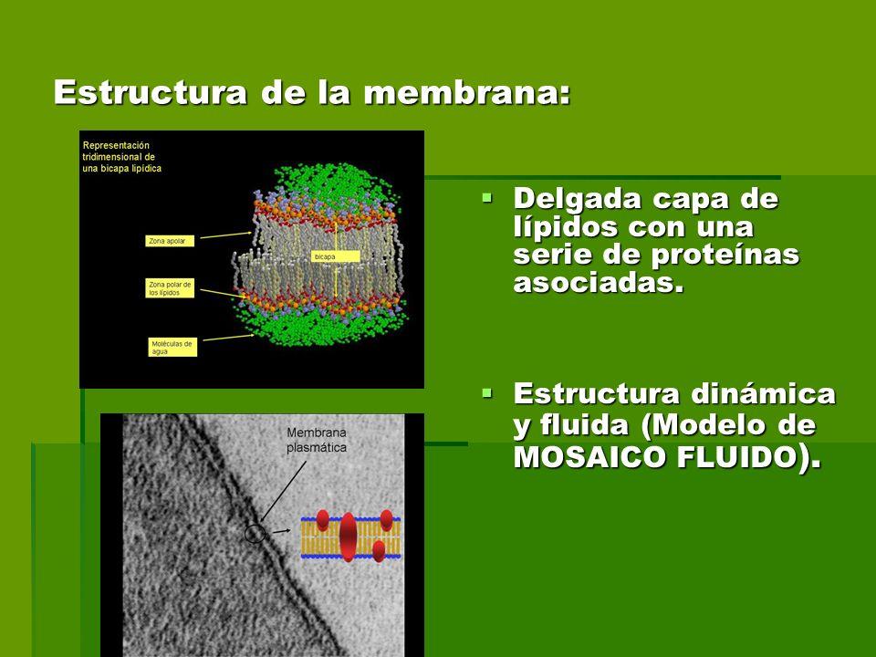 Estructura de la membrana: Delgada capa de lípidos con una serie de proteínas asociadas.