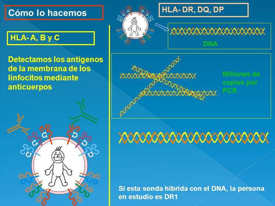 Cómo lo hacemos HLA- DR, DQ, DP Detectamos los antígenos de la membrana de los linfocitos mediante anticuerpos HLA- A, B y C Si esta sonda hibrida con