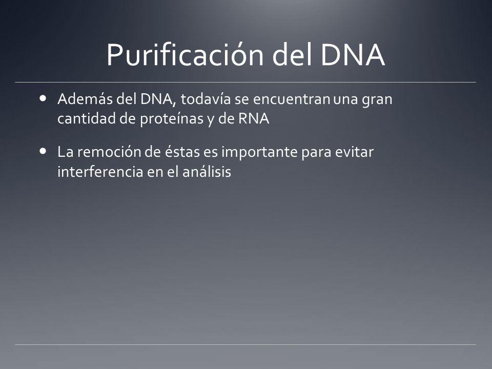 Purificación del DNA Además del DNA, todavía se encuentran una gran cantidad de proteínas y de RNA La remoción de éstas es importante para evitar inte
