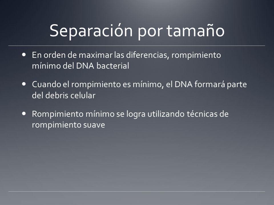 Separación por tamaño En orden de maximar las diferencias, rompimiento mínimo del DNA bacterial Cuando el rompimiento es mínimo, el DNA formará parte