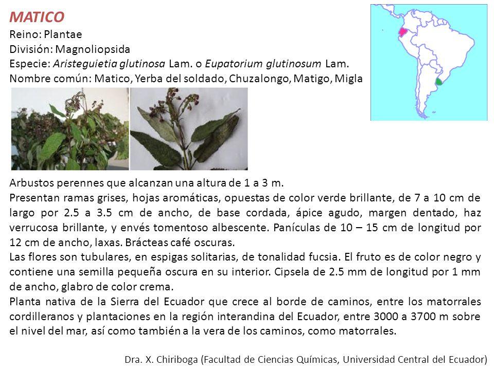 Dra. X. Chiriboga (Facultad de Ciencias Químicas, Universidad Central del Ecuador) MATICO Reino: Plantae División: Magnoliopsida Especie: Aristeguieti