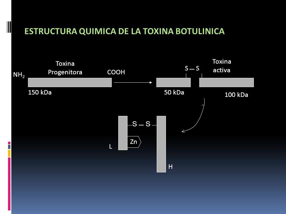 Toxina Progenitora NH 2 150 kDa COOH 50 kDa Toxina activa 100 kDa S L H Zn ESTRUCTURA QUIMICA DE LA TOXINA BOTULINICA