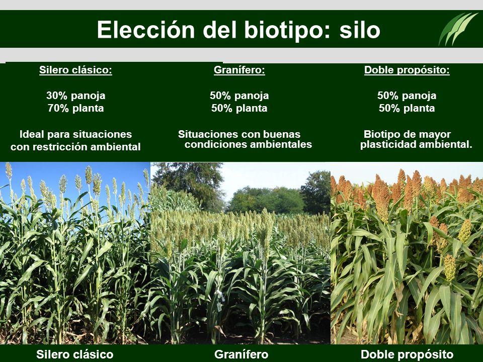 Elección del biotipo: silo Según: -Destino de la producción. -Zona de producción. Silero clásicoGraníferoDoble propósito Silero clásico: 30% panoja 70