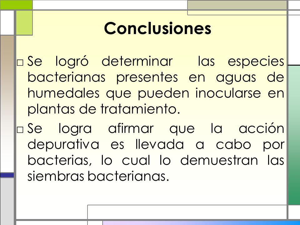 Conclusiones Se logró determinar las especies bacterianas presentes en aguas de humedales que pueden inocularse en plantas de tratamiento. Se logra af