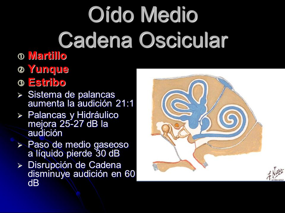 Oído Medio Cadena Oscicular Martillo Martillo Yunque Yunque Estribo Estribo Sistema de palancas aumenta la audición 21:1 Sistema de palancas aumenta la audición 21:1 Palancas y Hidráulico mejora 25-27 dB la audición Palancas y Hidráulico mejora 25-27 dB la audición Paso de medio gaseoso a líquido pierde 30 dB Paso de medio gaseoso a líquido pierde 30 dB Disrupción de Cadena disminuye audición en 60 dB Disrupción de Cadena disminuye audición en 60 dB