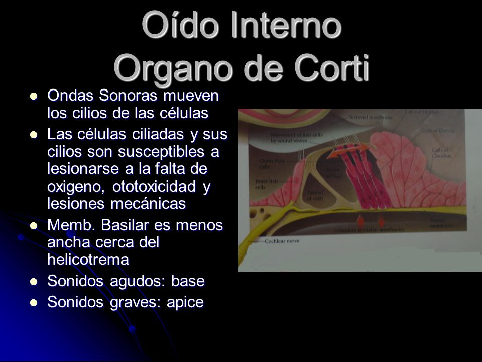 Oído Interno Organo de Corti Ondas Sonoras mueven los cilios de las células Ondas Sonoras mueven los cilios de las células Las células ciliadas y sus cilios son susceptibles a lesionarse a la falta de oxigeno, ototoxicidad y lesiones mecánicas Las células ciliadas y sus cilios son susceptibles a lesionarse a la falta de oxigeno, ototoxicidad y lesiones mecánicas Memb.