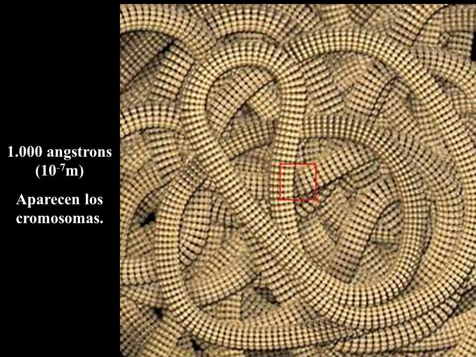1.000 angstrons (10 -7 m) Aparecen los cromosomas.