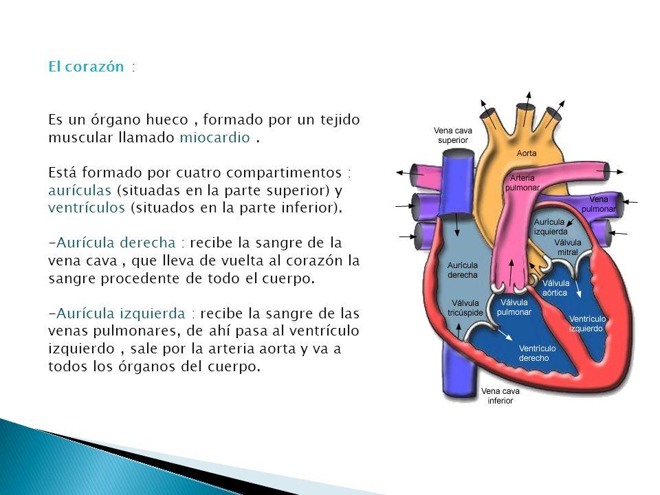 El corazón : Es un órgano hueco, formado por un tejido muscular llamado miocardio. Está formado por cuatro compartimentos : aurículas (situadas en la