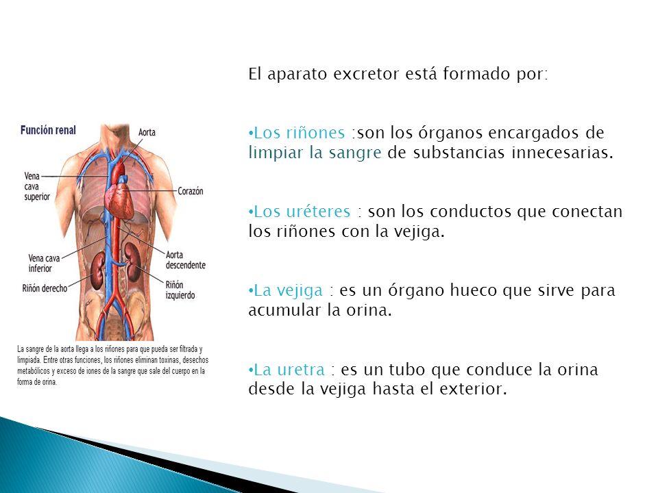 El aparato excretor está formado por: Los riñones :son los órganos encargados de limpiar la sangre de substancias innecesarias. Los uréteres : son los