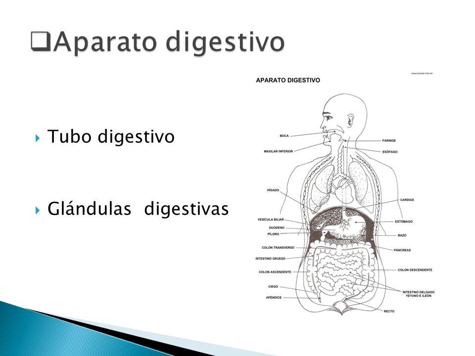 Tubo digestivo Glándulas digestivas