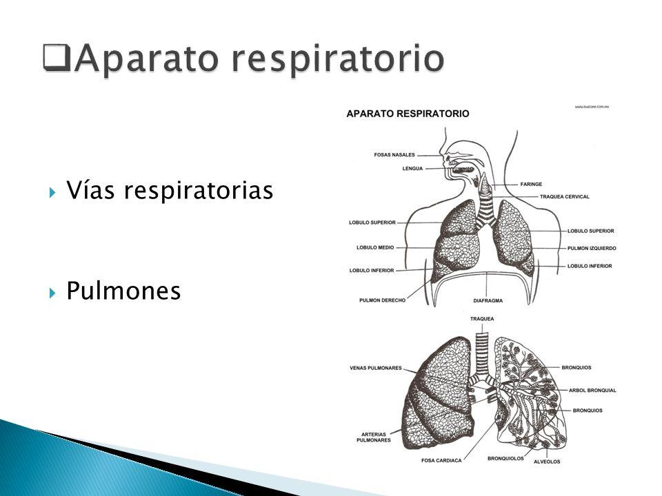 Las vías respiratorias son : Las fosas nasales : son las vías de entrada y salida del aire.