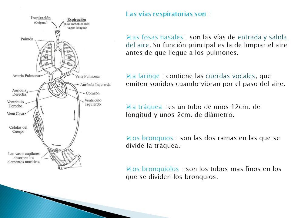 Las vías respiratorias son : Las fosas nasales : son las vías de entrada y salida del aire. Su función principal es la de limpiar el aire antes de que
