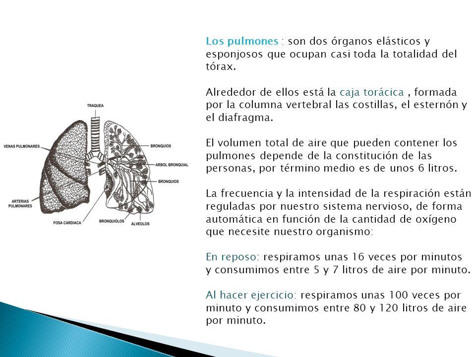 Los pulmones : son dos órganos elásticos y esponjosos que ocupan casi toda la totalidad del tórax. Alrededor de ellos está la caja torácica, formada p