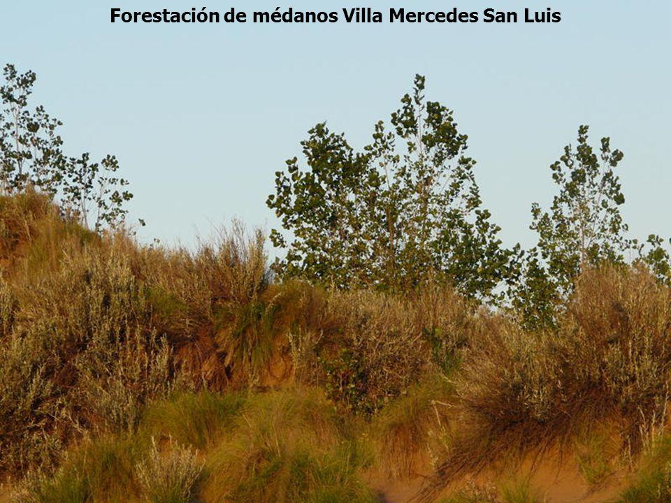 Forestación de médanos Villa Mercedes San Luis