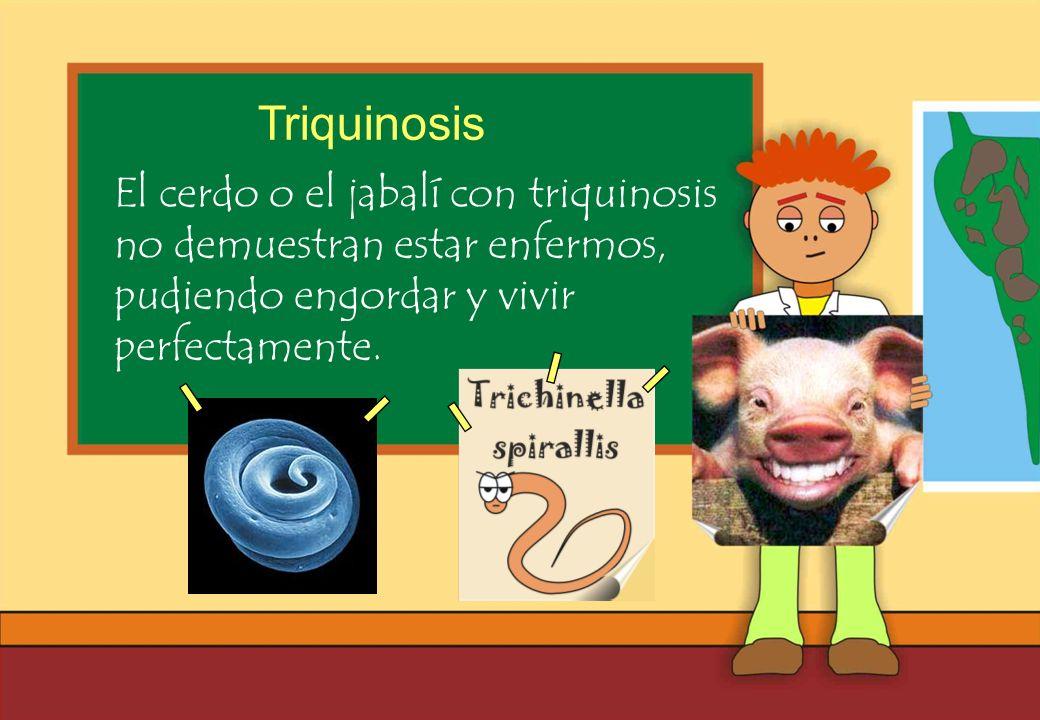 Realizado por Ricardo Bruno – Marzo de 2010 El cerdo o el jabalí con triquinosis no demuestran estar enfermos, pudiendo engordar y vivir perfectamente.