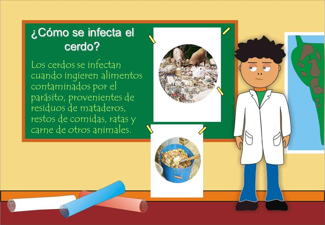 Realizado por Ricardo Bruno – Marzo de 2010 Los cerdos se infectan cuando ingieren alimentos contaminados por el parásito, provenientes de residuos de mataderos, restos de comidas, ratas y carne de otros animales.