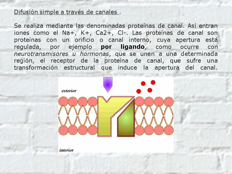 Difusión simple a través de canales. Se realiza mediante las denominadas proteínas de canal. Así entran iones como el Na+, K+, Ca2+, Cl-. Las proteína