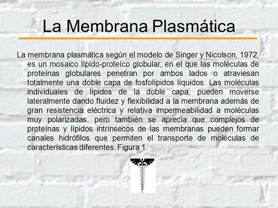 La Membrana Plasmática La membrana plasmática según el modelo de Singer y Nicolson, 1972, es un mosaico lípido-proteíco globular, en el que las molécu