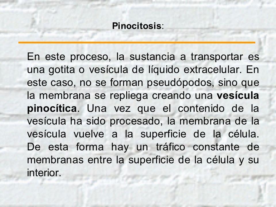 Pinocitosis: En este proceso, la sustancia a transportar es una gotita o vesícula de líquido extracelular. En este caso, no se forman pseudópodos, sin