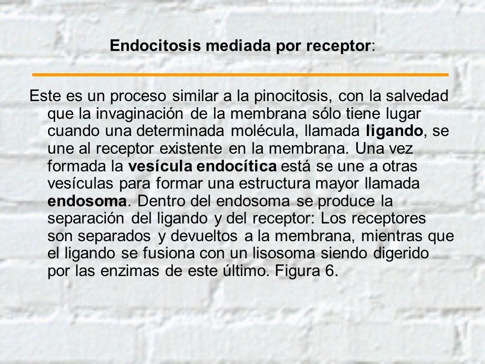 Endocitosis mediada por receptor: Este es un proceso similar a la pinocitosis, con la salvedad que la invaginación de la membrana sólo tiene lugar cua