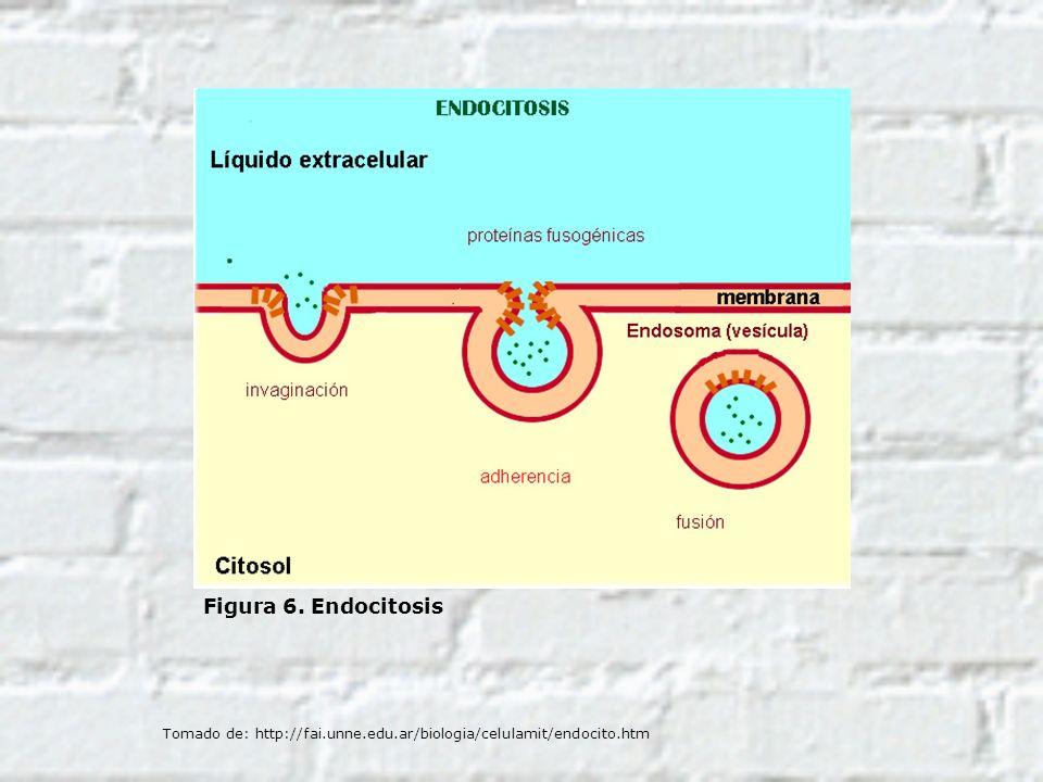 Figura 6. Endocitosis Tomado de: http://fai.unne.edu.ar/biologia/celulamit/endocito.htm