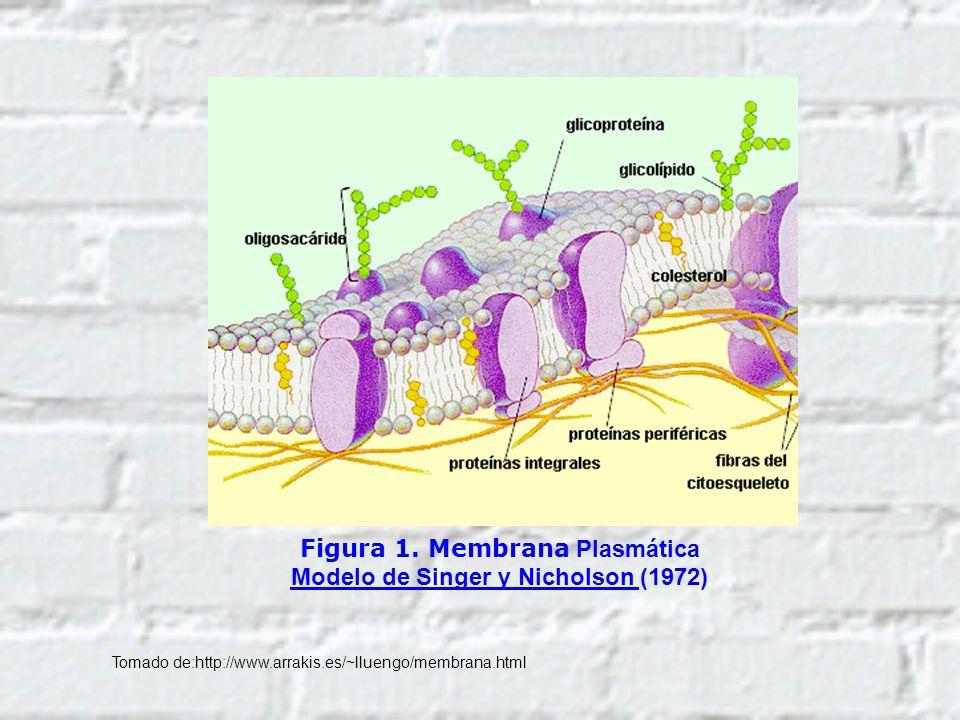 Figura 1. Membrana Plasmática Modelo de Singer y Nicholson (1972) Tomado de:http://www.arrakis.es/~lluengo/membrana.html