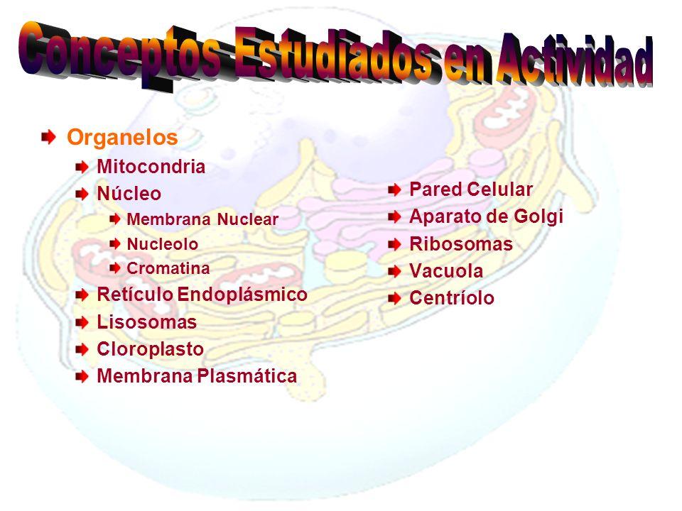 Organelos Mitocondria Núcleo Membrana Nuclear Nucleolo Cromatina Retículo Endoplásmico Lisosomas Cloroplasto Membrana Plasmática Pared Celular Aparato