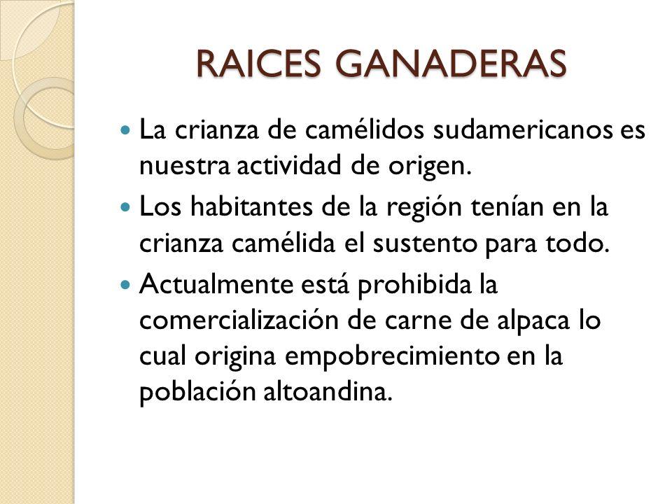 RAICES GANADERAS La crianza de camélidos sudamericanos es nuestra actividad de origen. Los habitantes de la región tenían en la crianza camélida el su